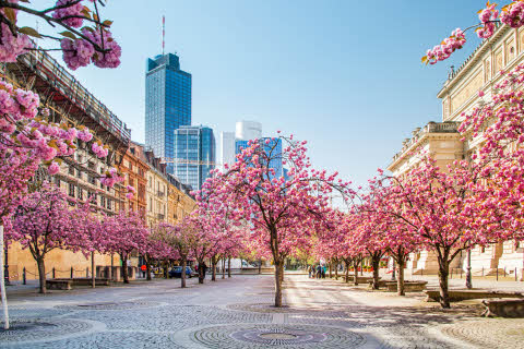 Cherry blossom in Frankfurt, Germany