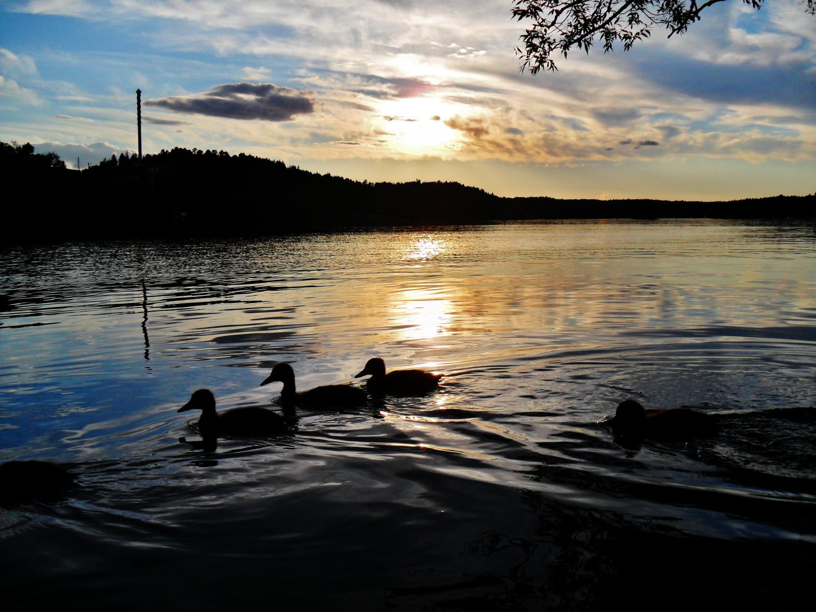 sweden-sodertalje-ducklings.jpg